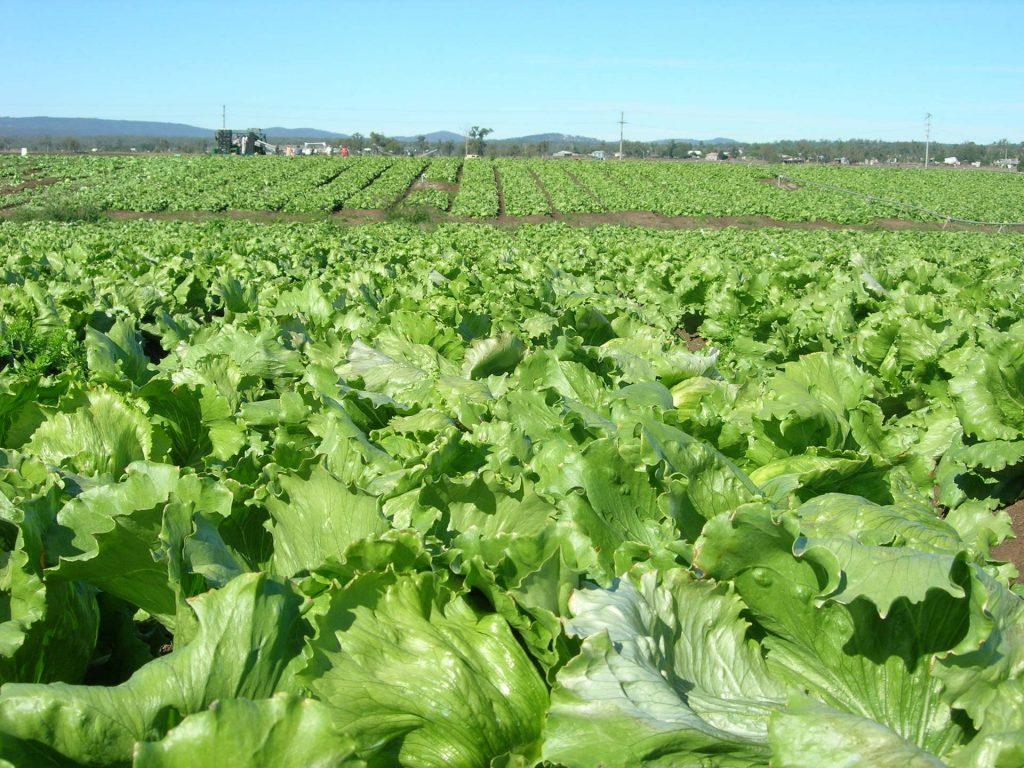 Lettuce Farm